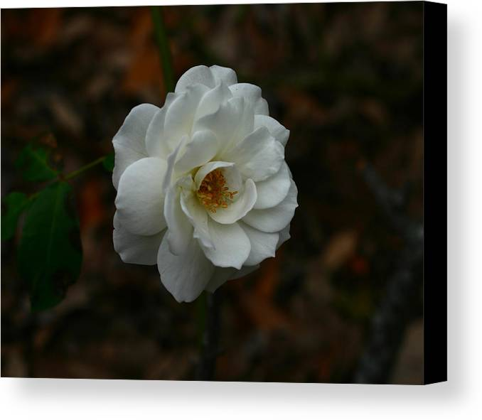 White Canvas Print featuring the photograph White Rose 209 by David Houston