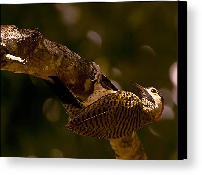 Woodpecker Canvas Print featuring the photograph Woodpecker by Galeria Trompiz