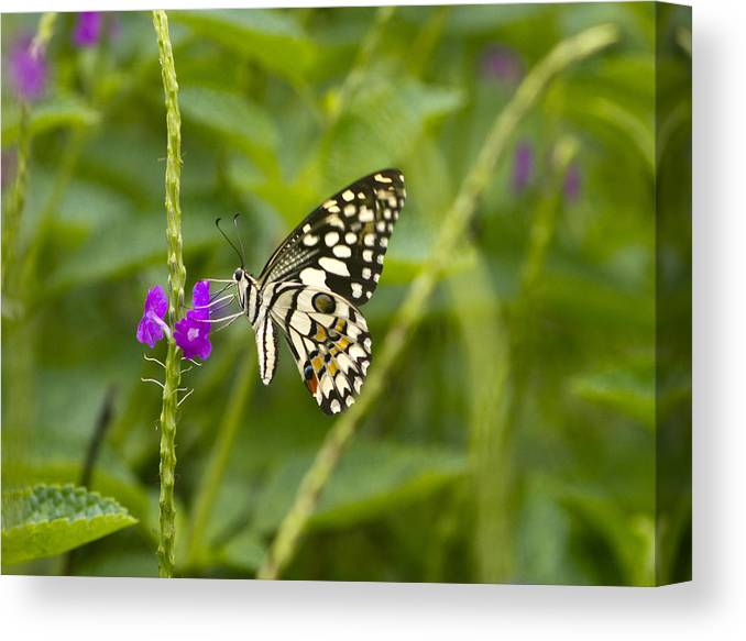 Canon Canvas Print featuring the photograph Lime Butterfly by Murali Aithal