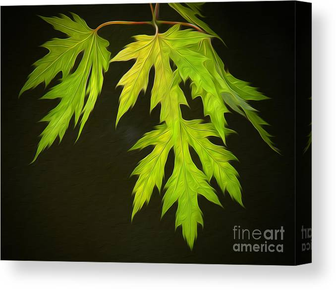 Maple Canvas Print featuring the photograph Maple Leaves by Brian Mollenkopf