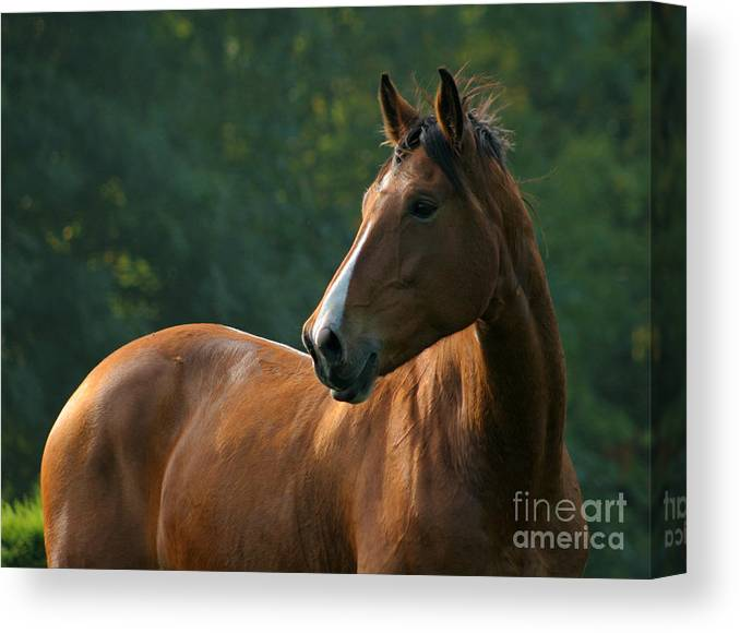 Horse Canvas Print featuring the photograph The Observer by Angel Ciesniarska