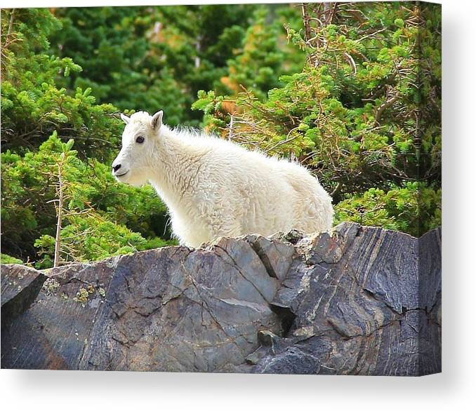 Colorado Canvas Print featuring the photograph Baby Mountain Goat by Danielle Marie