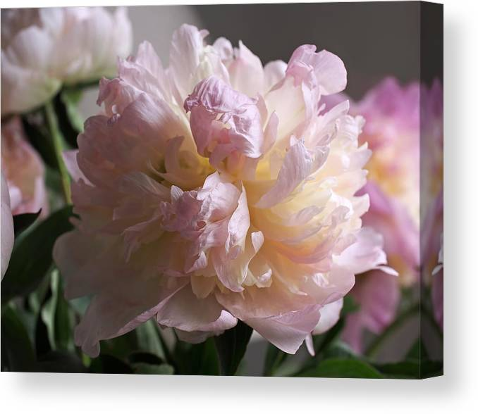 Peony Canvas Print featuring the photograph Blushing Peony by Rona Black