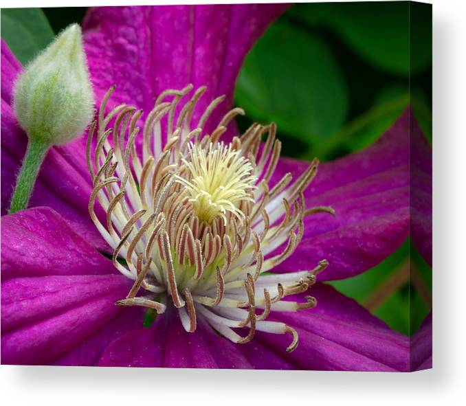 Clematis Canvas Print featuring the photograph Dr. Seuss Flower No. 7636 And Bud by Georgette Grossman