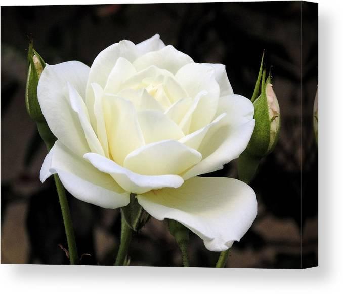 La Rosa Blanca Canvas Print Canvas Art By Randal Higby