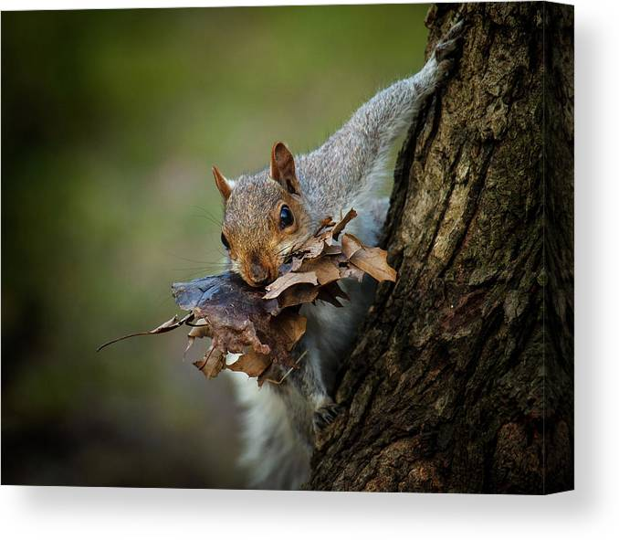 Squirrel Canvas Print featuring the photograph Nest Building Squirrel by Michael Castellano