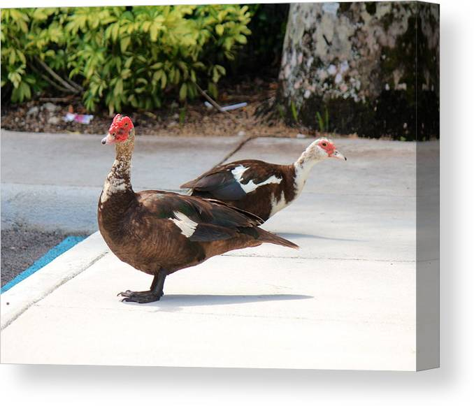 Two Ducks: Canvas Print featuring the photograph Ducks by Lorenzo Simmons