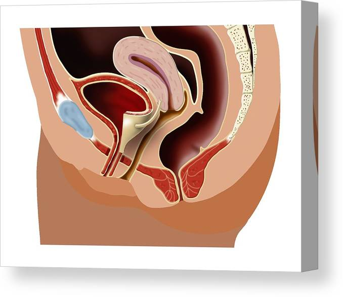 Female Pelvic Anatomy Artwork Canvas Print Canvas Art By Art For