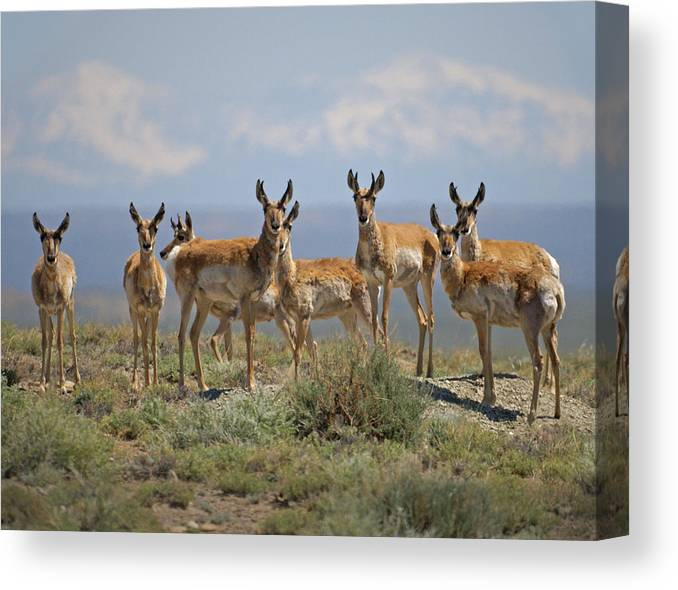 Antelope Canvas Print featuring the photograph Antelope by Heather Coen