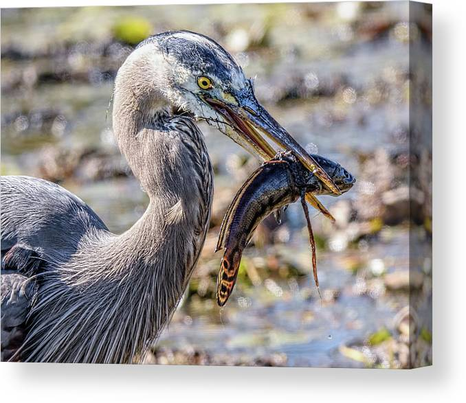 Great Blue Heron Canvas Print featuring the photograph Dinner Time by Wes Iversen