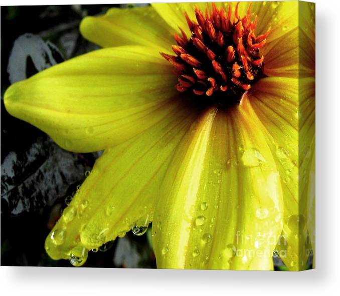 Yellow Flower Canvas Print featuring the photograph Flower After A Shower by Maria Scarfone