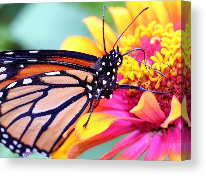 Butterfly Canvas Print featuring the photograph Happiness by Mitch Cat