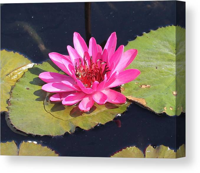 Flower Canvas Print featuring the photograph Pink Water Lilly by Sean Allen