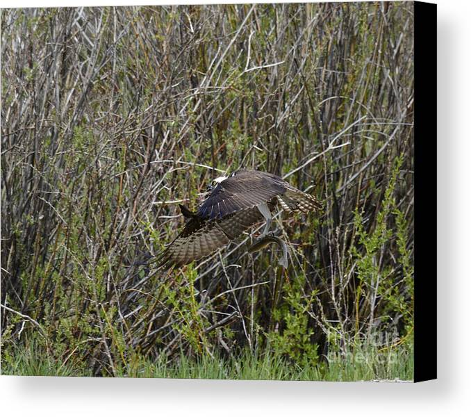 Bird Canvas Print featuring the photograph Osprey Taking Trout by Dennis Hammer