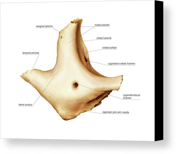 Zygomatic Bone Canvas Print Canvas Art By Asklepios Medical Atlas