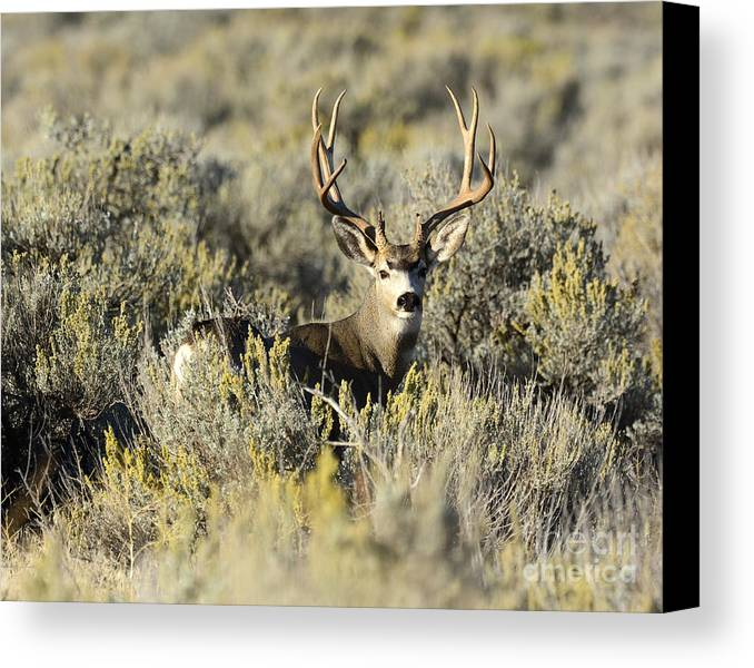 Mammal Canvas Print featuring the photograph Mule Deer Buck by Dennis Hammer