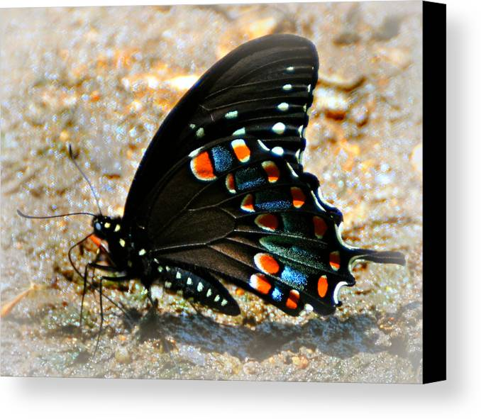 Butterfly Canvas Print featuring the photograph A Real Beauty by Marty Koch