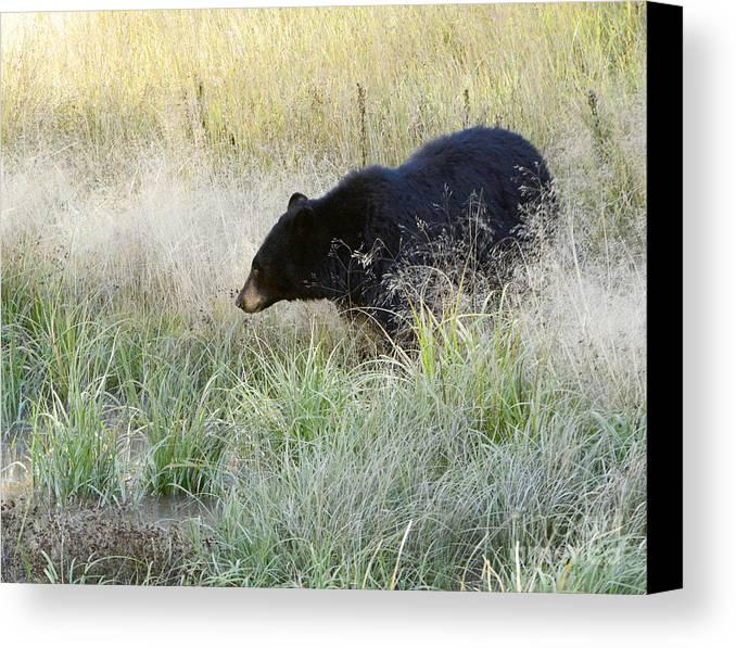 Mammal Canvas Print featuring the photograph Black Bear In Autumn by Dennis Hammer