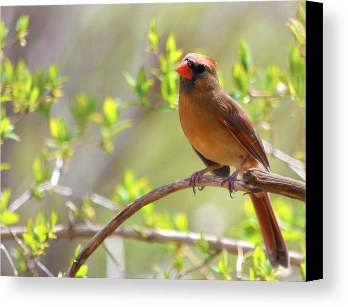 Cardinal Canvas Print featuring the photograph Cardinal In Spring by Sandi OReilly