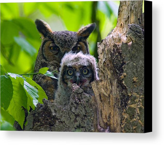 Great Horned Owl Bird Of Prey Nesting Owl Wildlife Canvas Print featuring the photograph Great Horned Owl Nesting by David Gardner