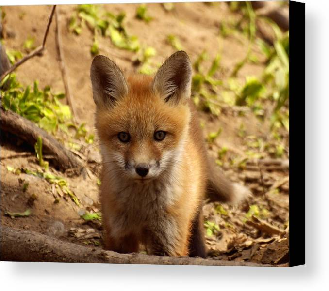 Fox Canvas Print featuring the photograph I See You by Thomas Young
