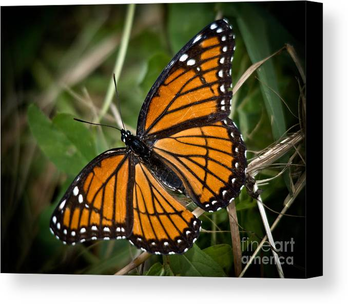Monarch Canvas Print featuring the photograph Pretty Monarch by Cheryl Baxter