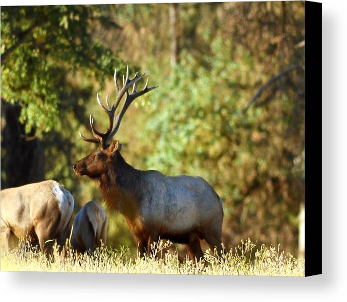 Elk Canvas Print featuring the photograph Royalty by Dennis Blum