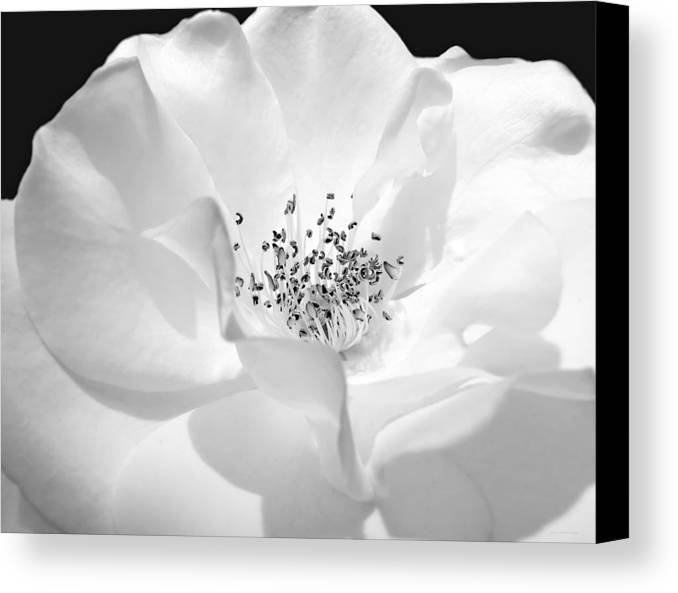 Rose Canvas Print featuring the photograph Soft Petal Rose In Black And White by Jennie Marie Schell