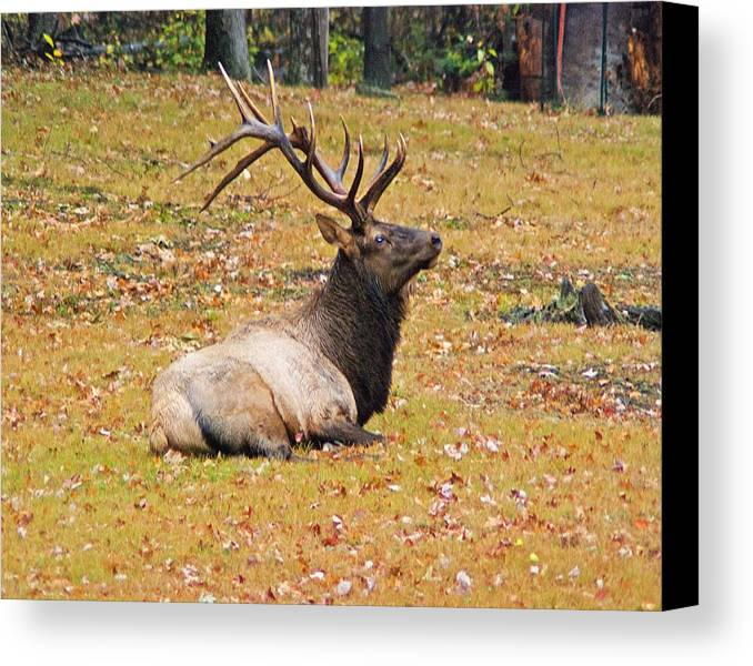 Wildlife Canvas Print featuring the photograph What's Up Big Boy Wil 38 by G L Sarti