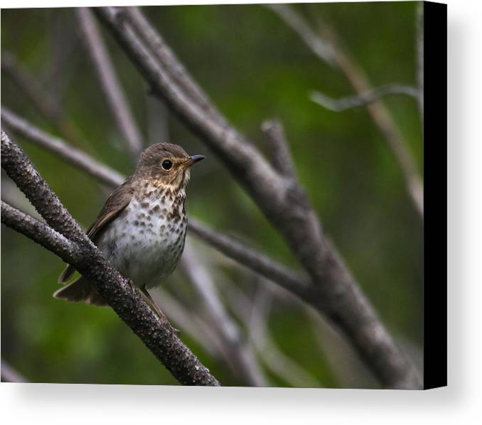 Alaska Canvas Print featuring the photograph Swainsons Thrush by Doug Lloyd