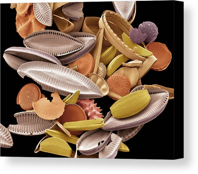 Calcareous Phytoplankton Canvas Print featuring the photograph Diatoms, Sem by Steve Gschmeissner