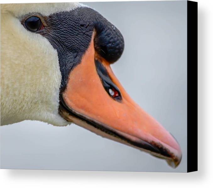 Canvas Print featuring the photograph Mute Swan by Brian Stevens