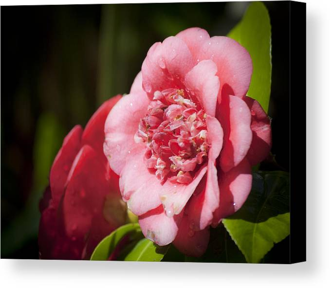 Camellia Canvas Print featuring the photograph Dreamy Camellia by Teresa Mucha