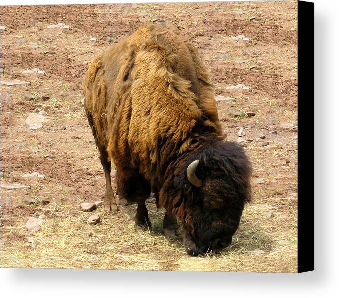 The American Buffalo Canvas Print featuring the photograph The American Buffalo by Bill Cannon