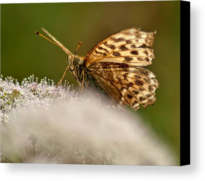Butterfly Canvas Print featuring the photograph Butterfly by Krzysztof Dac