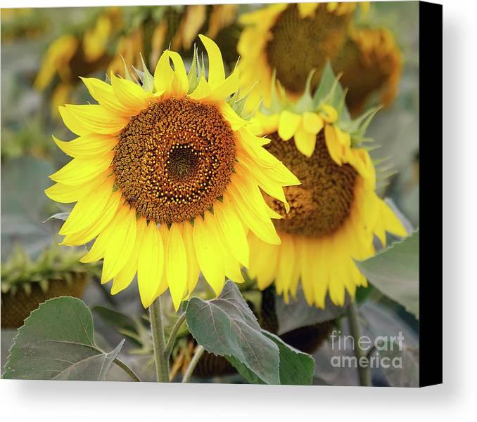 Flowers Canvas Print featuring the photograph Nice Sunflowers by Elvira Ladocki