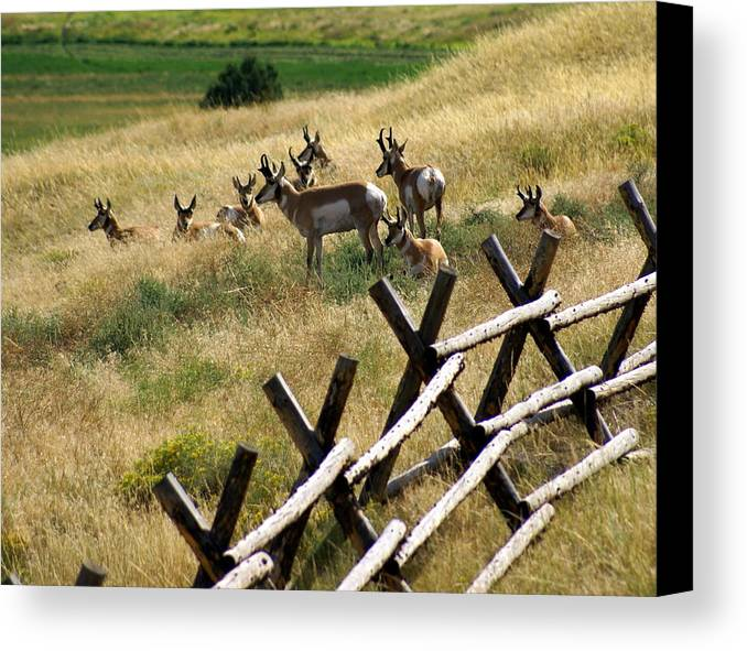 Wildlife Canvas Print featuring the photograph Antelope 2 by Marty Koch