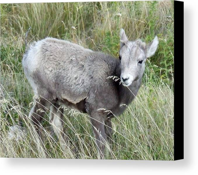 Baby Canvas Print featuring the photograph Baby Bighorn by Tiffany Vest