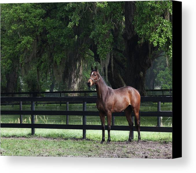 Outside Canvas Print featuring the photograph Bay Thoroughbred by Eleszabeth McNeel