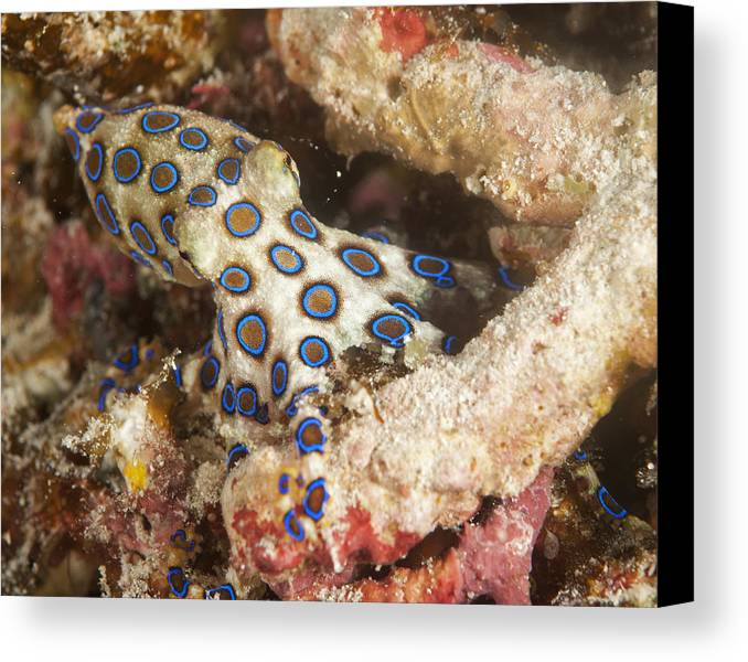 Octopus Canvas Print featuring the photograph Blue Ring Octopus by Freund Gloria