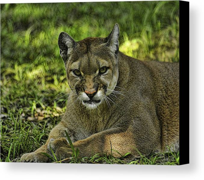 Panther Canvas Print featuring the photograph Florida Panther Agitated by Keith Lovejoy
