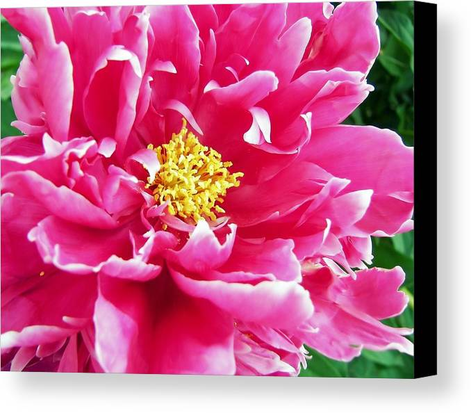 Flower Canvas Print featuring the photograph Gram's Peony by JAMART Photography