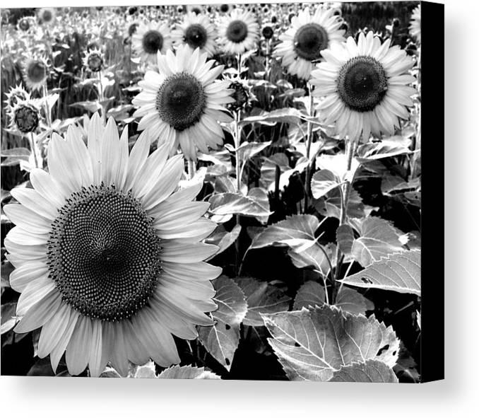 Sunflowers Canvas Print featuring the photograph Illinois Sunflowers by Todd Fox