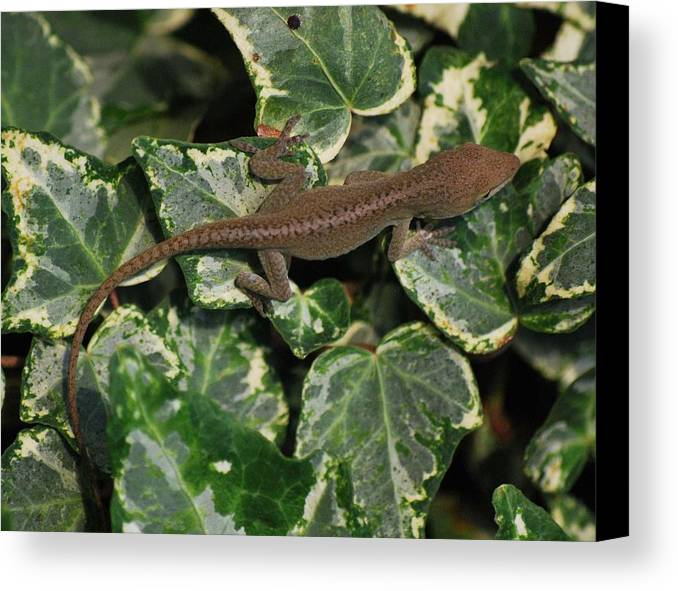 Anole Canvas Print featuring the photograph Ivy Liz by Trudi Southerland