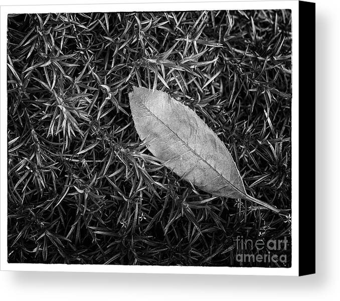 Foliage Canvas Print featuring the photograph Leaf In Phlox Nature Photograph by Melissa Fague
