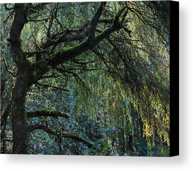 Weeping Willow Canvas Print featuring the photograph Majestic Weeping Willow by Marion McCristall