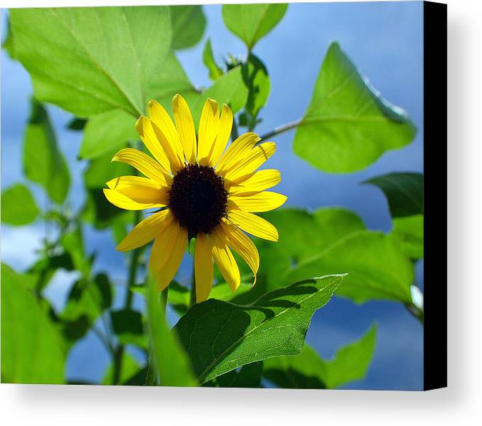 Sunflower Canvas Print featuring the photograph Monsoon Sunflower by Heather S Huston