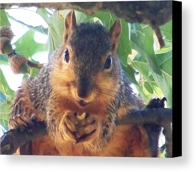 Squirrels Canvas Print featuring the photograph Oh Nuts by Linda Henriksen