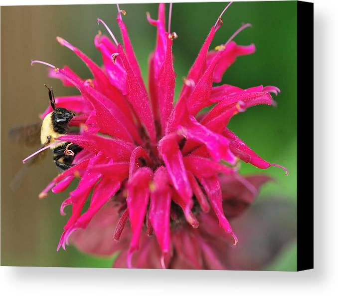 Bumblebees Canvas Print featuring the photograph On The Edge Of Petals by Michelle DiGuardi