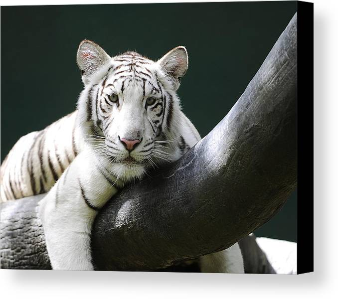 White Tiger Canvas Print featuring the photograph One Of Those Days by Keith Lovejoy